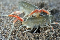 Fig. 6: Gammarid amphipods are also found amongst the wrack (Photo: Ingrid Taylar).