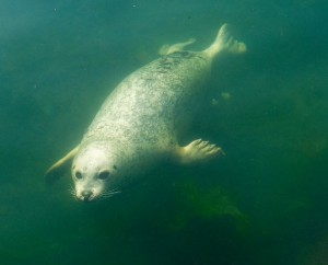 Figure 3: Harbor seal swimming. Source: https://en.wikipedia.org/wiki/Harbor_seal#/media/File:Pinniped_underwater.jpg
