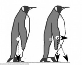 Fig. 5: There is a shift in the center of mass for fatter penguins which may contribute to them falling more often (Astrid Willener).