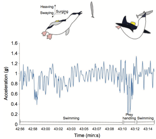 Figure 2. Schematic diagram of acceleration patterns while penguin is swimming and handling prey. (Figure 2 in Carroll, G., D. Slip, I. Jonsen, and R. Harcourt (2014), Supervised accelerometry analysis can identify prey capture by penguins at sea, J. Exp. Biol., 217(Pt 24), 4295–4302, doi:10.1242/jeb.113076.)