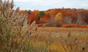 Figure 4: Phragmites photobombing a lovely fall picture! Credit: https://www.flickr.com/photos/nhoulihan/4060714232
