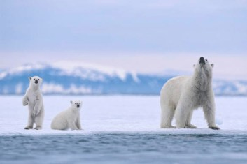 Svalbard Archipelago, Norway --- Polar Bear Mother and Cubs on Sea Ice --- Image by © Jenny E. Ross/Corbis