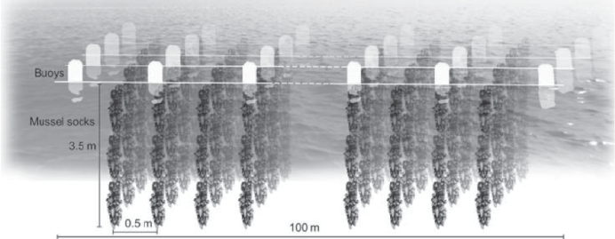 Figure 2 – Example of what a mussel line looks like. When mussels die, they fall off of the lines, bringing nutrients and a potential food source for lobsters. Source: The impact of a mussel farm on water transparency in the Kiel Fjord - Scientific Figure on ResearchGate. https://www.researchgate.net/263201455_fig3_Fig-3-Scheme-of-the-long-line-system-of-the-mussel-farm-and-locations-of-de-fi-ned