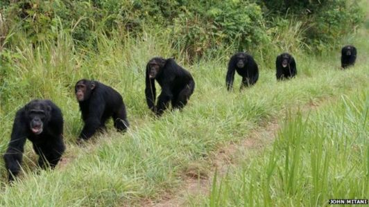 Fig. 1: Many animals, like chimpanzees, keep group order and cohesion by using vocal signals.