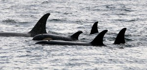 Figure 2: Killer whale pod at in the Johnstone Strait, BC, Canada. https://commons.wikimedia.org/wiki/File:5_orcas_in_johnstone_strait.jpg
