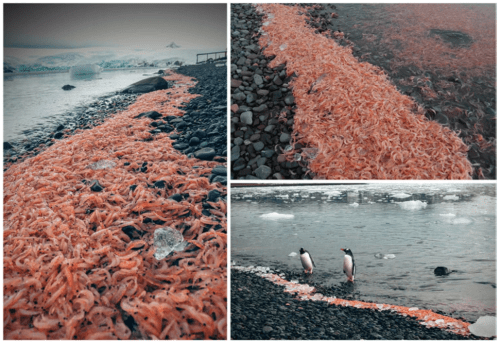 Figure 2 – Photos of krill strandings. Krill washed up on the southern shore of Potter Cover with densities of ~1000 individuals per square meter. They made an easy meal for Gentoo penguins. (Figure 2 in the paper.)