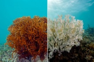 "Figure 3. Left is a healthy fire coral, while on the right is a fire coral that has ""bleached"" itself due to environmental stressors. (Source: gizmodo.com)"