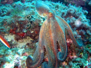 Figure 2: Octopus Vulgaris: https://commons.wikimedia.org/wiki/File:Octopus_vulgaris_3.