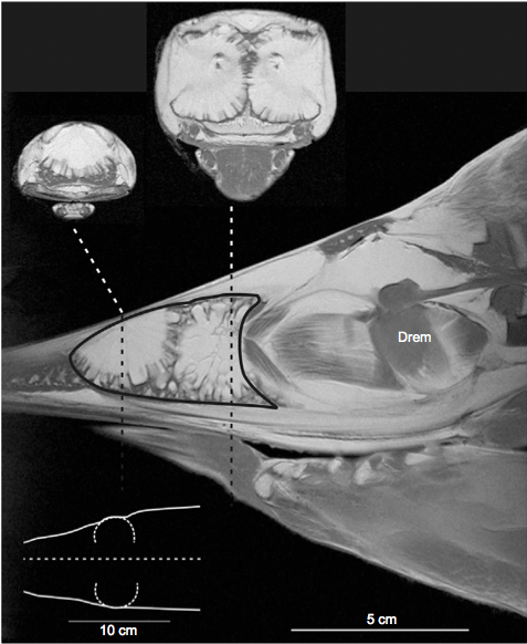 Fig. 1 – The position of the newly described oil gland. Main image shows MRI scan of a swordfish head (the sketch in the lower left shows the dorsal view of the head and dashed line represents the position of the main scan image). The thick black line contours the gland and dashed lines shows the position of the two cross-section scans above.