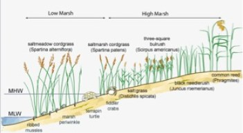 The species in a salt marsh must be in an area where they will get the right amount of flooding. Mean High Water (MHW) is the mean of the heights of high tides while Mean Low Water (MLW) is the mean of the heights of low tides, where these are determines where the plants are. Source: USGS
