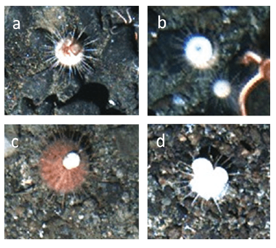Figure 3 – Sea urchins covering with a) algae/bryozoans, b) whole urchin test, and c,d) pieces of shell. Figure 3 from Brothers et al. 2016.