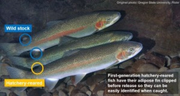 First-generation hatchery-reared fish have been released since 1992 to boost the threatened Hood River, OR steelhead population. Photo modified from Oregon State University @ Flickr.