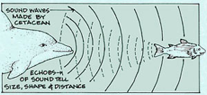 Fig. 4: Dolphins use sonar to help navigate and locate prey. These sounds are also thought to be used in communication (Photo: captseaweed.com).