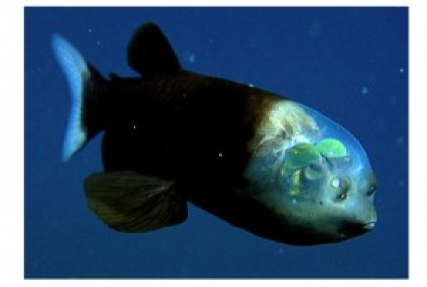 Fig 2: The barreleye fish, or as I like to call him, the marine equivalent of Eeyore. (Source: Rate Every Animal)
