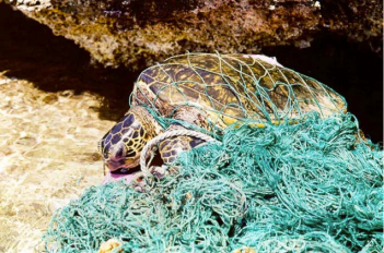 A sea turtle trapped in a ghost fishing net. Source: Wikimedia Commons.