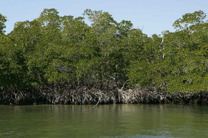 Fig. 2. Red Mangroves Source: Steve Hillebrand, US Fish and Wildlife Service, via Wikimedia Commons