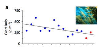 Fig. 4: Coverage of giant kelp declined compared to previous years, but this decline is likely due to a longer term trend rather than a few warmer years.