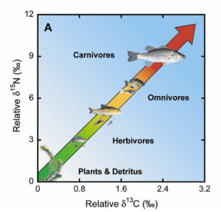 Figure 3: Schematic of how the ratio of heavier carbon (x axis) to heavier nitrogen (y axis) changes as you move up the food chain. Source: USGS South Florida Information Access