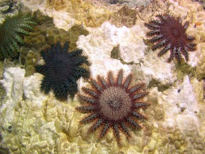 Crown-of-Thorns Sea Stars. Source: Rore bzh, Wikimedia Commons. https://commons.wikimedia.org/wiki/File:Acanthaster_planci,_%C3%A9toiles_mangeuses_de_corail.jpeg