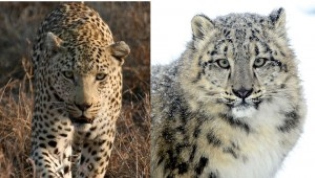 Figure 2. Tropical leopard vs. a snow leopard (source: nationalgeographic.com)