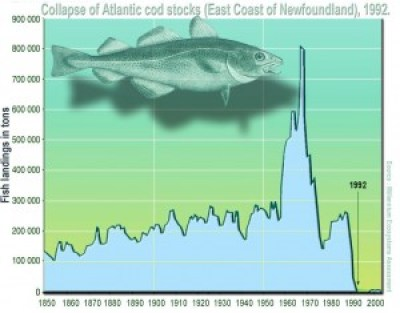 The collapse of the Atlantic northwest cod fishery is a textbook example of the consequences of overfishing [Wikimedia].