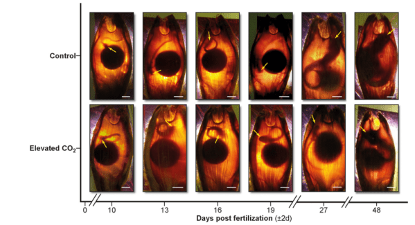 Figure 1. Embryos during the candling process. Note the control embryos on the top row and the elevated carbon dioxide on the bottom over their gestation (days post fertilization).