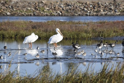 Pelicans, godwits, geese, gulls and sanderlings share this wetland in San Diego. Credit: Circe Denyer.