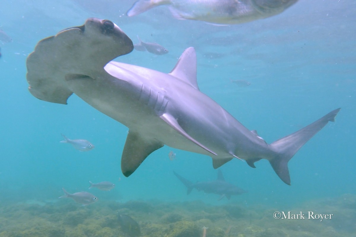 deep secrets of the scalloped hammerhead shark oceanbites