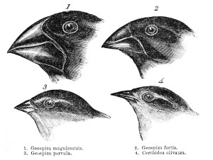 Illustrations of Darwin's Finches