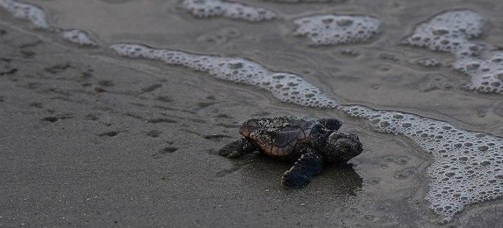 Un nouveau-né de tortue caouanne rampant dans le sable vers l'eau.