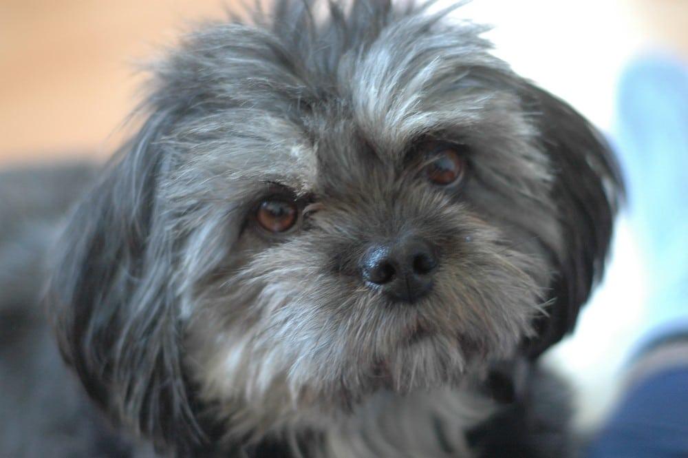 wie-ein-hund-mein-leben-veraendert_lhasa-apso_bison_hunde-training-erziehen-verstehen_Strassenhund-adoptieren_blog-frankfurt_Oceanblue-style.jpg