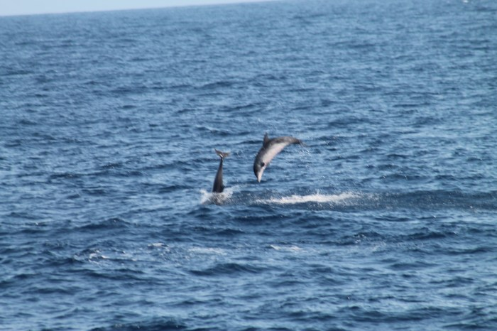 Delfine beim Springen