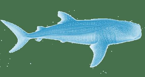 whale shark toy sharks australia ocean wow