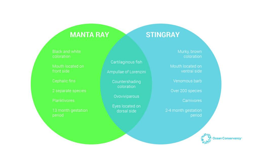 medium resolution of there is so much more to learn about stingrays and manta rays as well as similar groups like skates guitarfish and butterfly rays