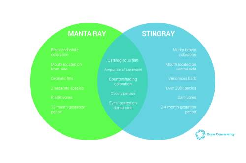 small resolution of there is so much more to learn about stingrays and manta rays as well as similar groups like skates guitarfish and butterfly rays