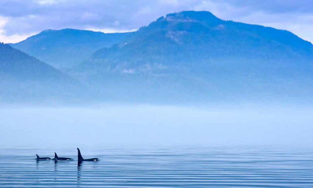Surfacing orcas