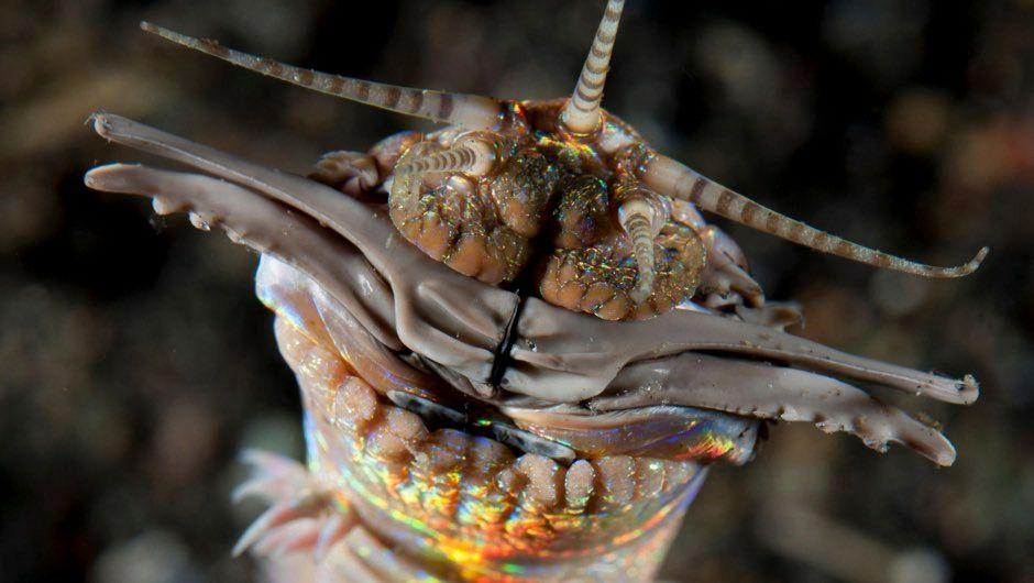 Bobbit worm or sand striker