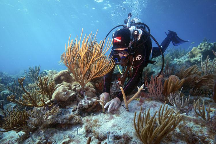 Diver conducting coral restoration work