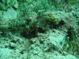 Shortfin dwarf lionfish:Dendrochirus brachypterus