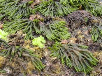 Figura 2. En la foto de la izquierda las dos especies de Codium spp. La especie invasora C. fragile en verde claro y la nativa C. tomentosum, en verde oscuro ©Ana García García. En la foto de la derecha ambas especies en el medio natural. © Rosa Maria Viejo.