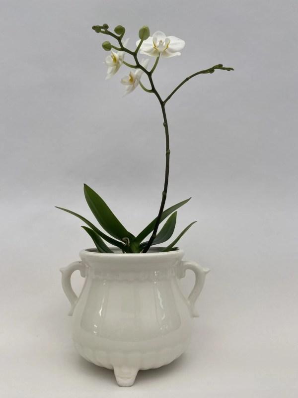 bela, midi, enostebelna, dvostebelna, orhideja., falenopsis