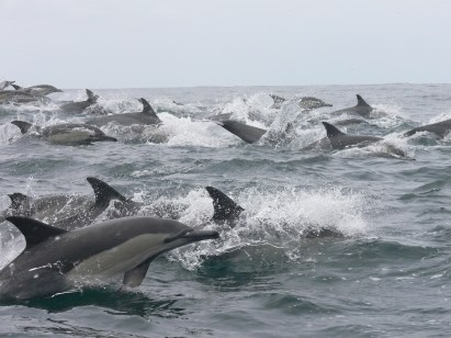 common_dolphins_ocean_safaris_dolphin_watching_plettenberg_bay