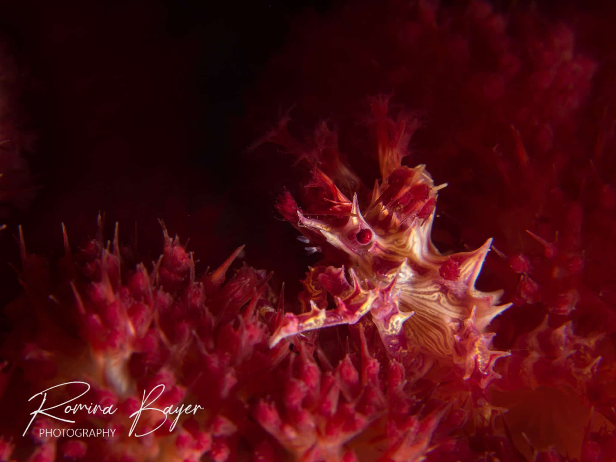 Candy crab in a soft coral