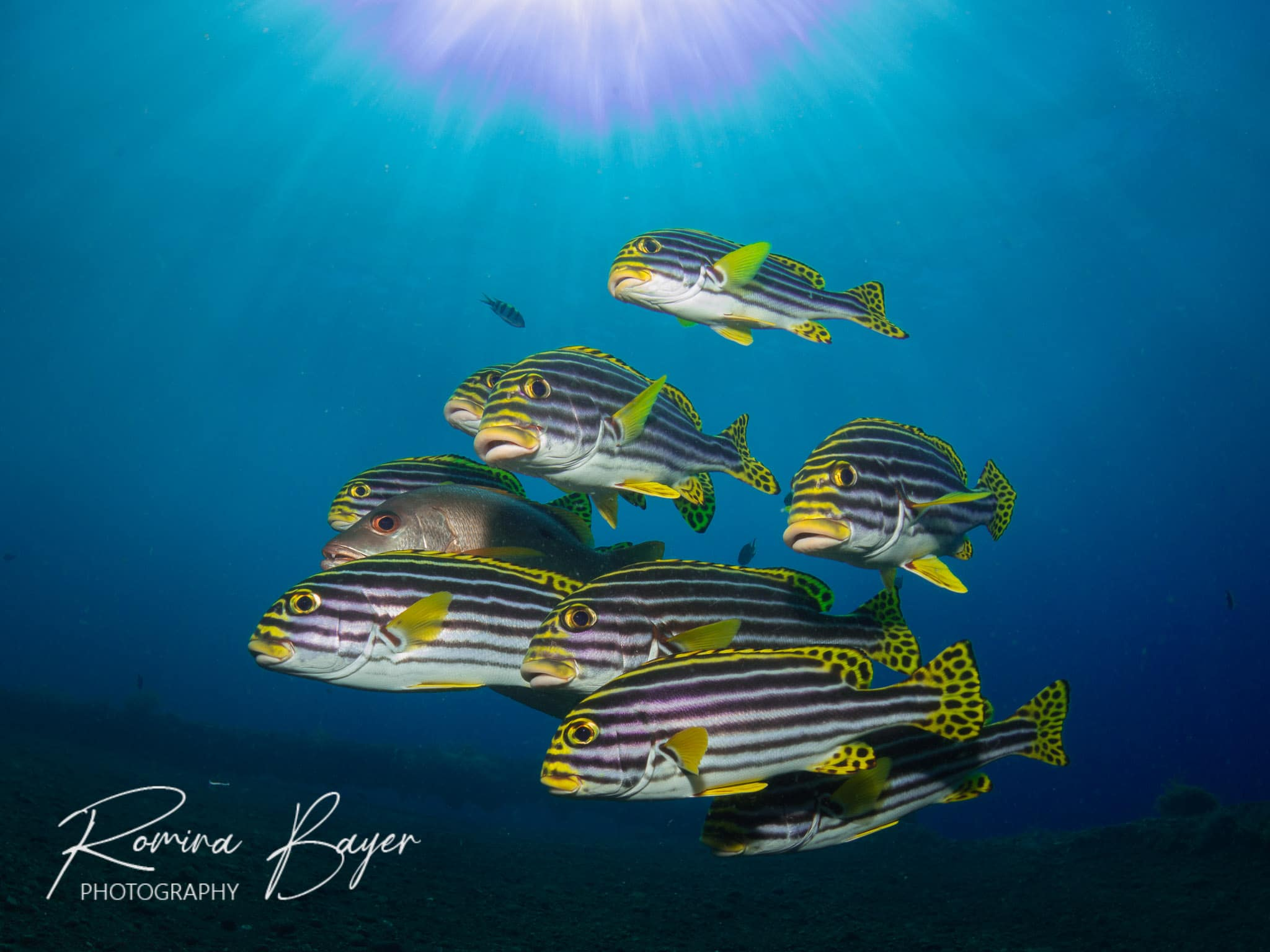 Sweetlips with sunburst in shallow water