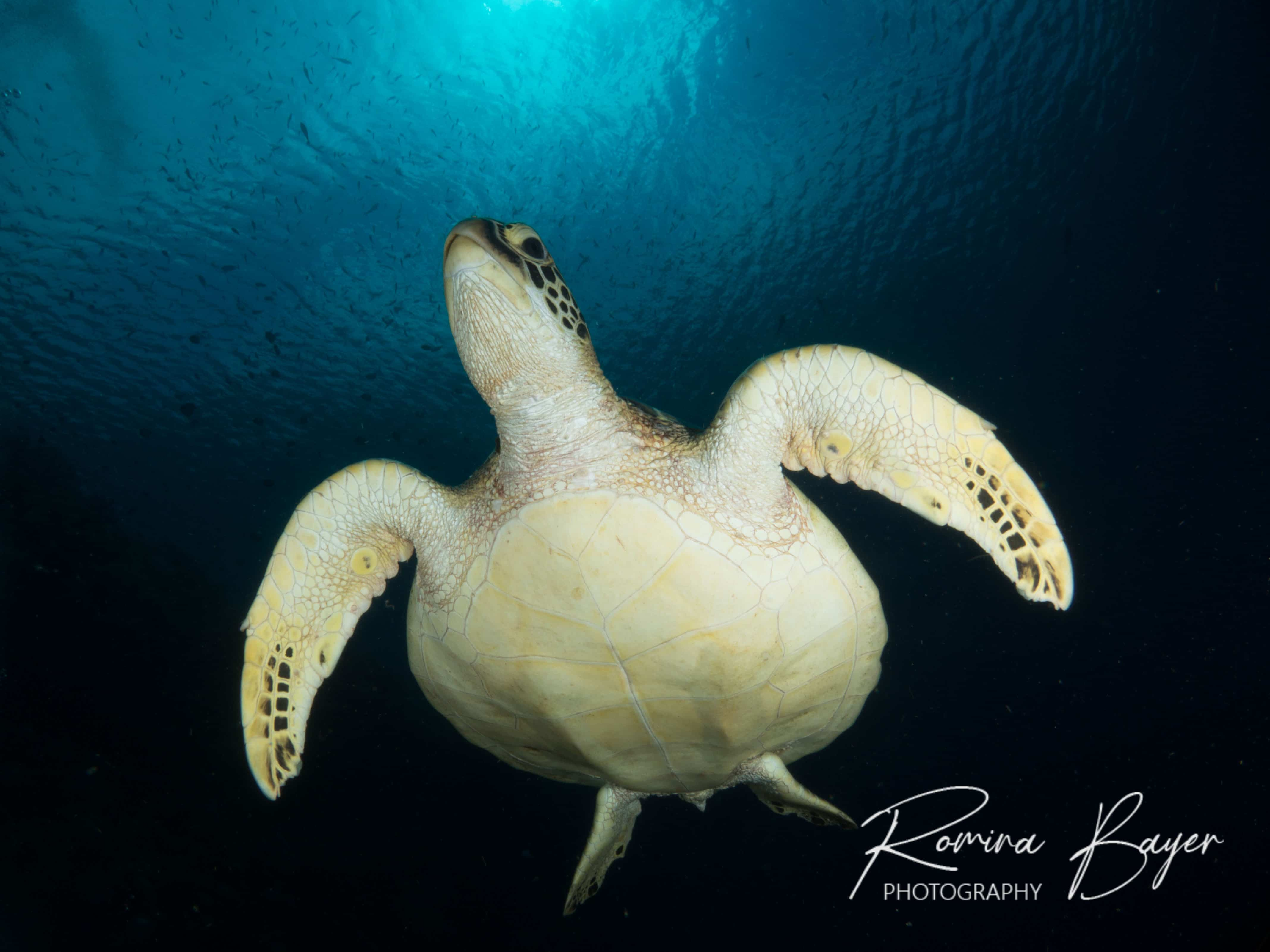 Green sea turtle swimming to surface