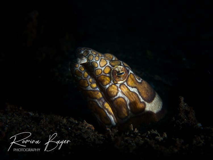 Underwater photograph of a Napoleon snake eel