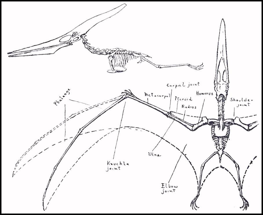 ostrich skeleton diagram badlands atv winch wiring albatross wing bone great installation of bird data today rh 36 unimath de waved wings