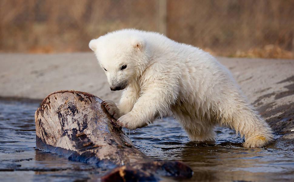 可愛北極熊崽Siku | 熊的傳人 網海一瓢