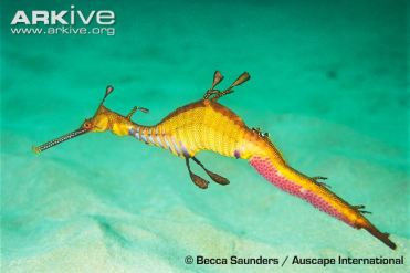 weedy-seadragon-male-with-egg-cases-on-tail