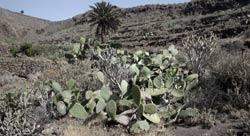 Vegetación del barranco de Tenegüime, Los Valles, Guatiza, Lanzarote, senderismo
